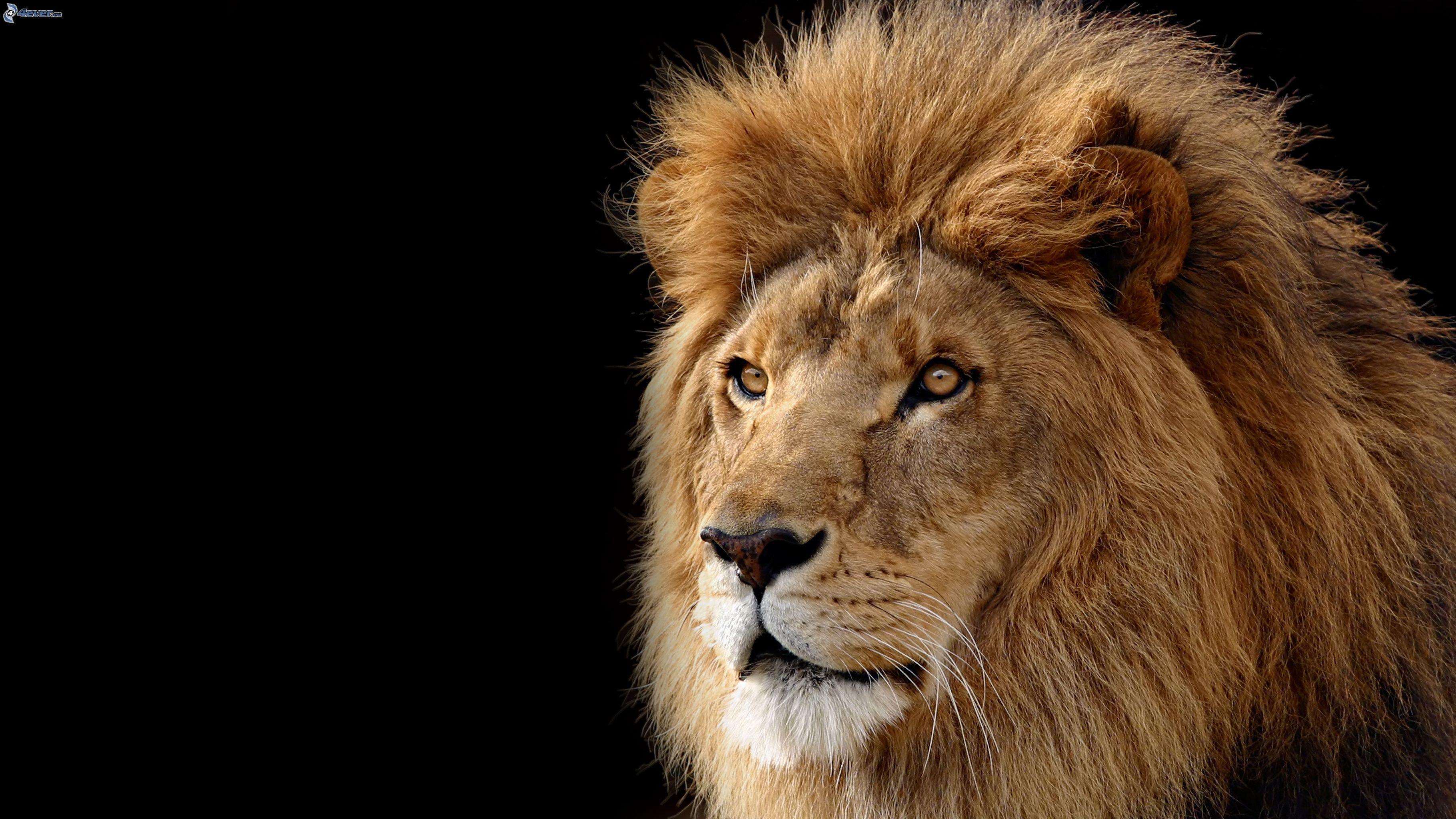 foto spettacolare leone foto spettacolari dal mondo